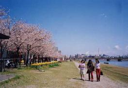 新潟_信濃川やすらぎ堤緑地(桜)