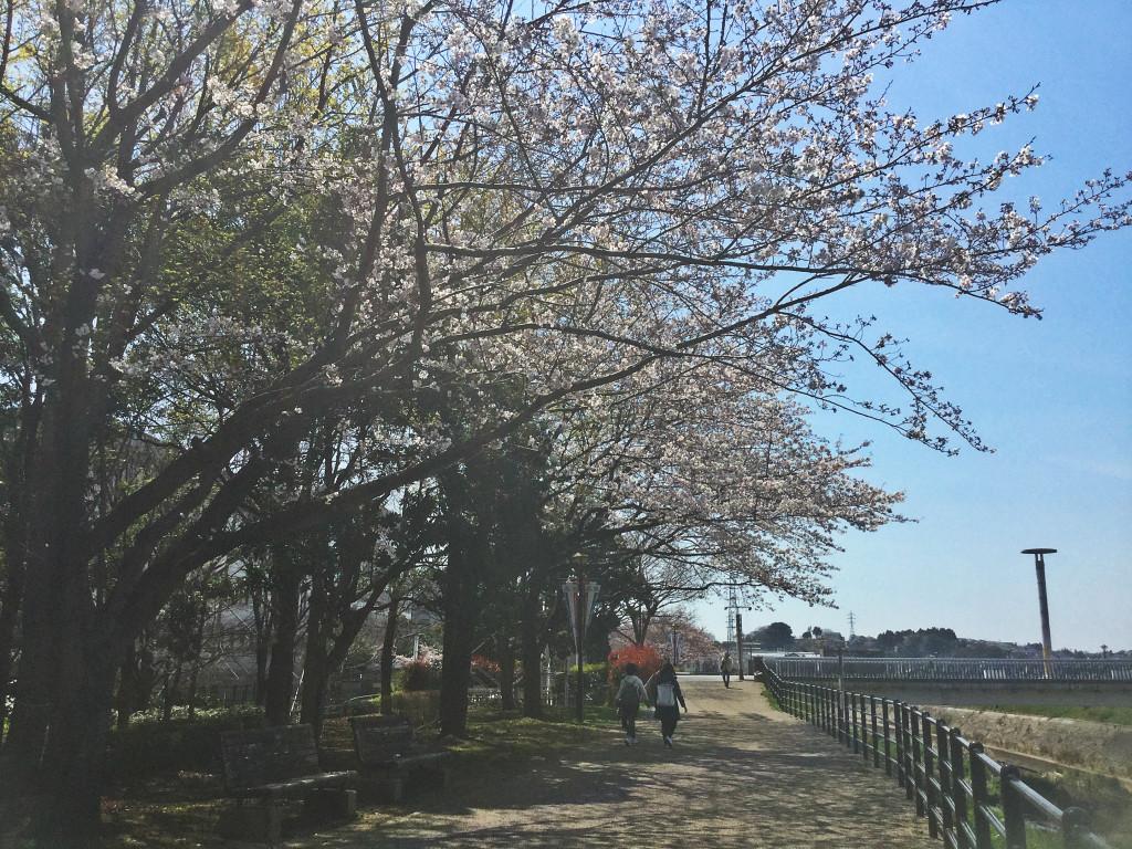 shinyoko sakura3